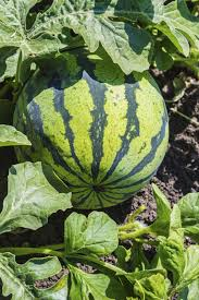 Growing Melons On A Trellis Watermelons Articles Gardening Know How