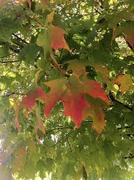 how to grow a maple tree information about caring for maple trees