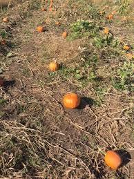 around ottawa visiting proulx farm pumpkin a bit of