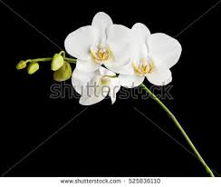 White Orchid Flower White Orchid Isolated Stock Images Royalty Free Images U0026 Vectors
