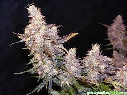 growing autoflower with led lights autoflowers and led grow lights pt 12 growing medical marijuana