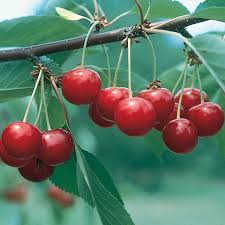Best Fruit Trees For North Carolina - sour cherry trees from stark bro u0027s sour cherry trees for sale