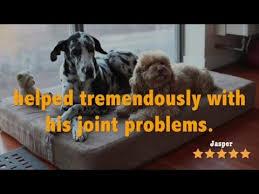 Barker Dog Bed Big Barker Dog Beds Vs Canine Joint Disease Youtube