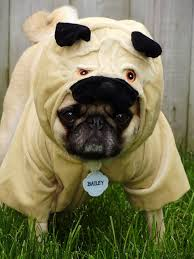 Funny Animal Halloween Costumes 25 Pug Halloween Costumes Ideas Pug Costume