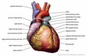 Sheep Heart Anatomy Quiz Science For Kids Cardiovascular System