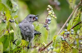 citizen science blog eat like a frugivorous bird