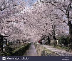 cherry blossoms path of philosophy kyoto sakyo kyoto japan
