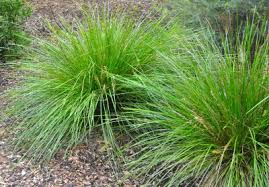 ornamental grass propagation learn about the propagation of