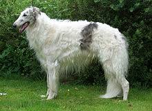 afghan hound lifespan borzoi wikipedia