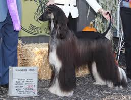 owning an afghan hound just another wordpress com site