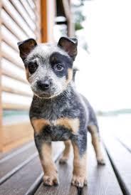 australian shepherd blue heeler mix precious puppyyyyy must love dogs pinterest australian