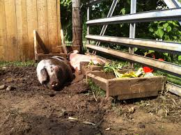 tiny farmhouse friday standing your ground regarding pig mud pits