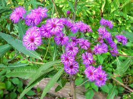 plants native to new england south jersey native plants august 2014 plant of the month new