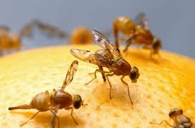 fruit flies in sink get rid of the annoying fruit flies with these 5 incredible homemade