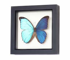 framed butterfly displays butterfly