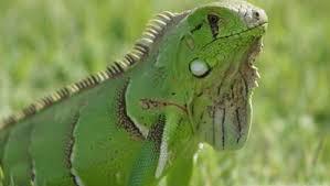 imágenes de iguanas verdes prohibiciones contra iguanas verdes planeta la hora noticias de