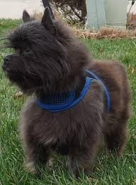 affenpinscher terrier mix affenpinscher breed information pictures and puppies