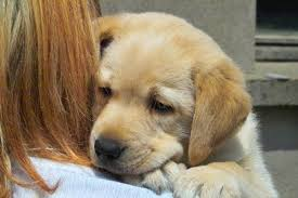 raise labrador puppy pets