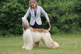 afghan hound national dog show afghan hound kennel calamus hodowla chartów afganskich