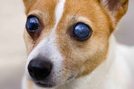 What Can Cause Blindness In Dogs Symptoms Causes Diagnosis Treatment Recovery
