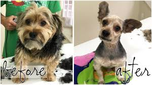 grooming a yorkie dog is weird time lapse youtube
