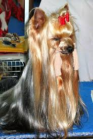 pictures of shorkie dogs with long hair ways to make yorkshire terrier s hair shiny