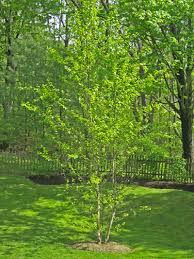 landscape trees design ideas and varieties