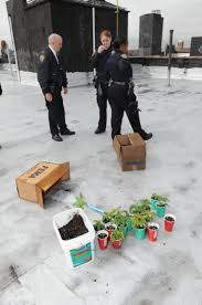 cops mistake tomato plants for pot ny daily news