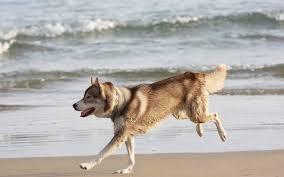 wallpaper husky dog sea beach escape hd picture image