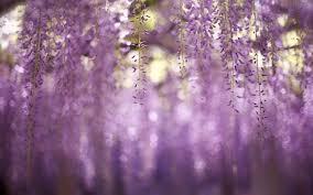 wisteria flower close up wallpaper