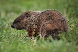 groundhog rodent britannica