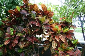 ornamental foliage plant codiaeum the garden croton