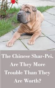 the chinese shar pei u2013 are they more trouble than they are worth