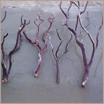 manzanita branches for sale manzanita burlworks bird perches multi branch trees