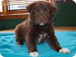 australian shepherd puppies rescue brown bear adopted puppy 7 17 4 north judson in