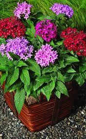 Pentas Flower Choose A Filler Botanic Name Pentas Lanceolata U0027new Look Red