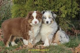 training a australian shepherd puppy faithwalk aussies training your aussie