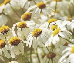 Daisy The Flower - 104 best flowers daisy daisy images on pinterest daisy