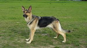 belgian shepherd qld german shepherd wikipedia