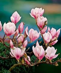 the meaning and symbolism of the word magnolia