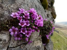 plants native to scotland purple saxifrage saxifraga oppositifolia flowers of canada