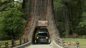 Chandelier Tree Address California U0027s Redwoods In The Land Of The Giants La Times
