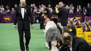 westminster bluetick coonhound 2016 secrets of the westminster kennel club dog show am new york