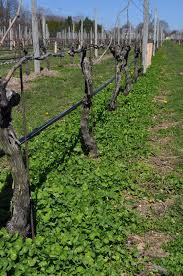innovative under trellis management for vineyards april 2012