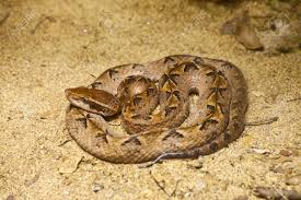 malayan pit viper snake on sand stock photo picture and royalty
