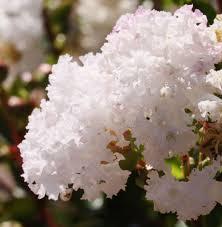 Shrub Small White Flowers - shrubs gardenworld gardenworld