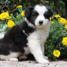 australian shepherd price miniature australian shepherd mix puppies for sale greenfield