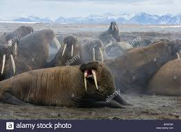 walrus group odobenus rosmarus on shore excited after being