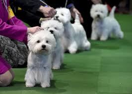 140th westminster kennel club show la times