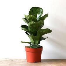 Fiddle Leaf Fig Tree Care by Buy Ficus Lyrata Bambino Dwarf Fiddle Leaf Fig Plant Online